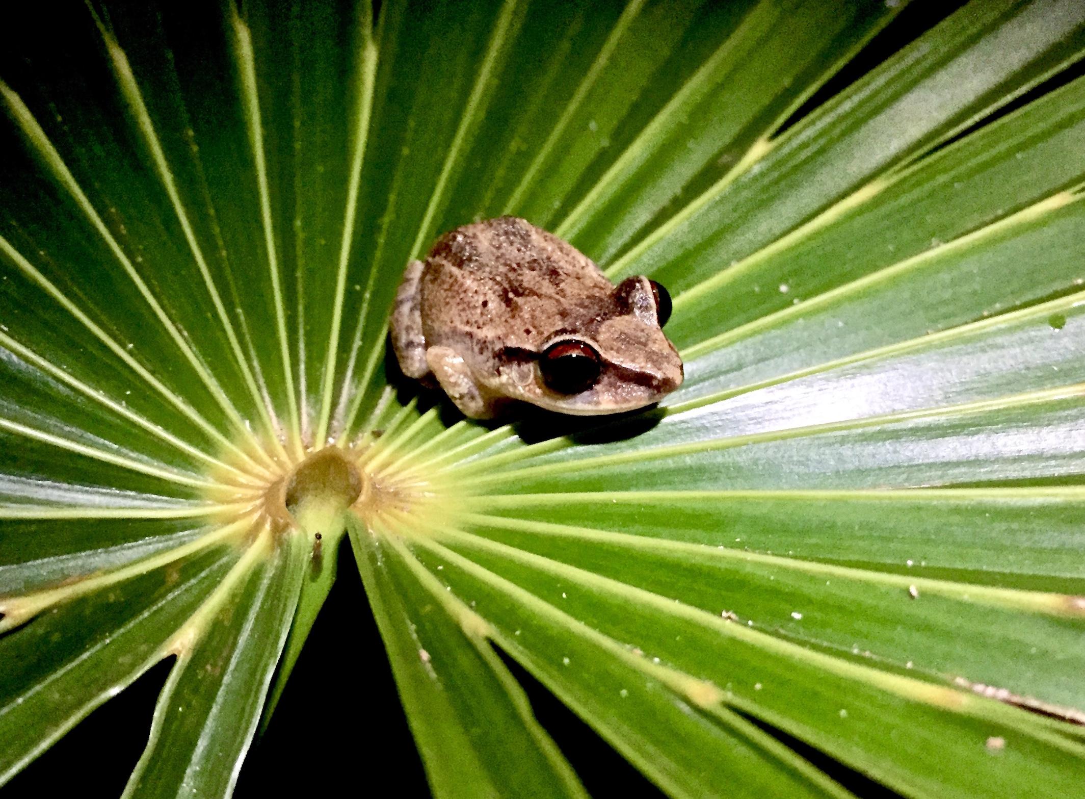 Red-eyed coquí on a leaf