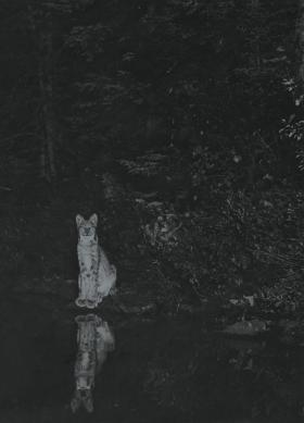 A Canada Lynx on the Shore of Loon Lake, Ontario, Fearless (c.1900)